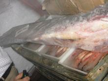We sell freshwater catfish Boal (Wallago attu) / wild catch Indus River