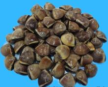 FROZEN BROWN CLAM - HIGH QUALITY