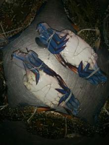 Blue Swimming Crabs / Blue Crabs / Swimming Crabs / Crabs