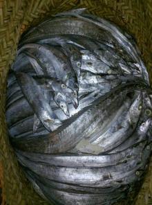 Frozen Ribbonfish AA+ (Japan/Taiwan quality) 100~1,000 grams