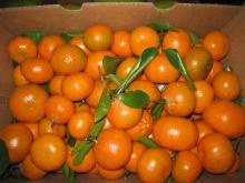 Fresh Mandarin Oranges New Fruits high quality GRADE A FOR SALE HOT SALES