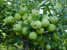 Fresh New Crop Green Apple