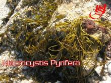 macrocystis pyrifera seaweed