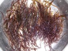 chicoria de mar seaweed dry