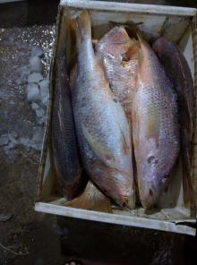 Fresh Red Snapper / Silver Snapper 1~8 kg sizes Hook Line Catch