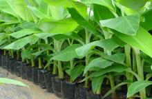 Odisha Fresh Green Banana