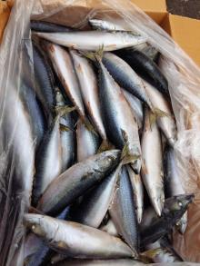 Grade A 300-500G frozen pacific mackerel