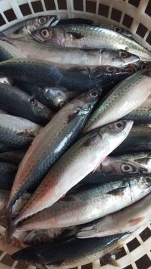 mackerel (scomber japonicus )