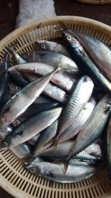 fresh frozen mackerel 150-200