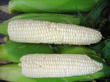 White   Corn   Seed s