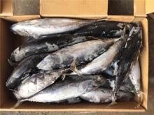 Seafrozen 300-500G whole round frozen bonito frozen frigate tuna