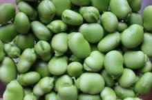 Frozen and Dry green broad beans