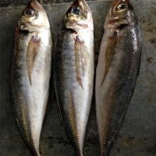 Frozen canned fish jack mackerel wr frozen horse mackerel