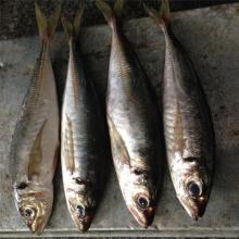 Canned fish horse mackerel japanese horse mackerel fish