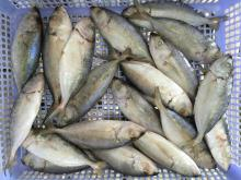 Whole round big eye scad for wholesale