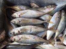 Small eyes  round   scad  blue  round   scad   fish  frozen  round   scad