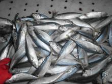Blue scad whole round scad for tuna bait