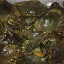 Live Mud Crabs / Live Green Mud Crabs / Live Crabs / Mud Crabs / Live Crabs