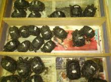 Sulcata, Aldabra, Radiated and Burmese star tortoises and othe Spicies for sale