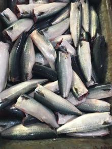 Hot sale seafoods Frozen pacific mackerel fish HGT