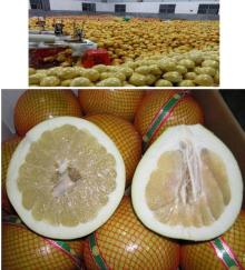 Chinese Pinghe Fresh Pomelo, fresh grapefruits, shaddock, honey pummelo, pomelu