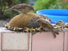 Sunflower seeds for the bird