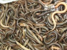 live Eels fish,frozen eels fish