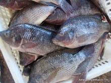 Frozen Tilapia Fish Whole Round,Black Tilapia 100-200g, 200-300g,300-500g,500-800g