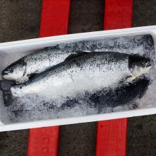 Atlantic Salmon, fresh and frozen salmon