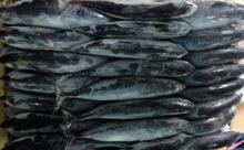 Bullet tuna (bonito)