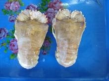 Slipper lobster whole round
