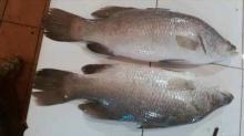 Seabass barammundi