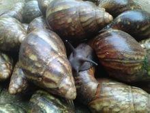 Giant Africa Snails, escargot, helix aspersa muller, caracol bover, petit gris