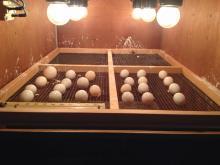 Fresh fertile eggs for sale
