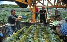 PREMIUM FRESH PINEAPPLE Product of THAILAND