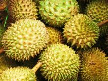 Fresh Durian for export with high quality from experienced factory