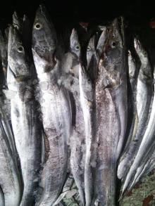 Frozen Ribbonfish 1/2, 2/3, 3/4, 4/5, 5/7, 7/10, 10/11 sizes Hook Caught