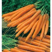 Fresh First Grade A Carrot from NL