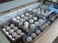 Fresh Fertile Parot bird Eggs