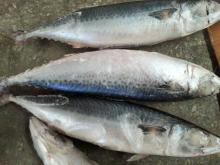 Seafoods landing frozen mackerel Quick Freezing
