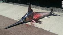 Swordfish,Frozen Swordfish, Live Swordfish