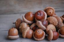 acorn nuts
