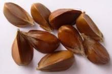 American beech nuts edible /European beech nuts edible/