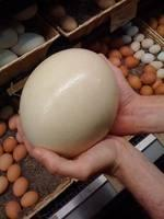Ostrich Eggs At Affordable Prices