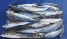 Quality Frozen mackerel fish for sale