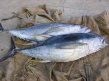 Frozen Yellowfin Tuna/Skipjack Tuna