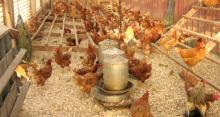Wheat Bran for animal feed