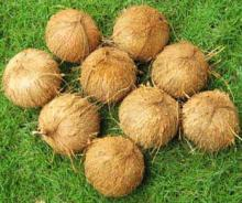 Fresh Coconut Semi-Husked (Botanical Name- Cocos Nucifera)