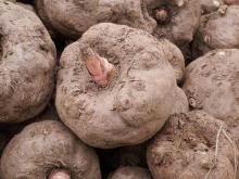 Bulk Konjac Extract in Stock, Green Slimming Food
