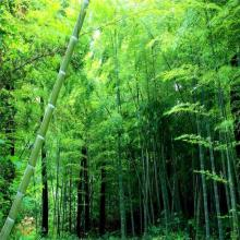 Natural  Bamboo  Leaf&Stem  Extract  Powder, Bulk in Stock